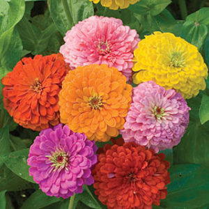 Zinnia, Flowered Mixed Colors -Seeds-